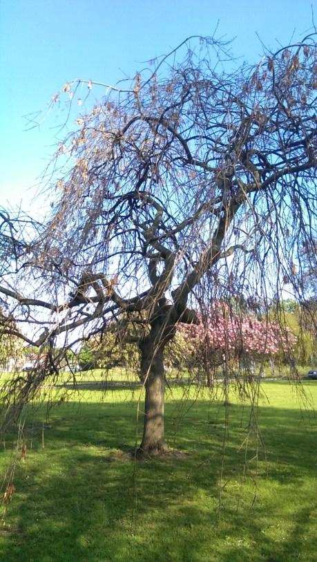 Cherry, Spring 2014