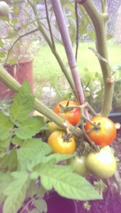 tomatoes ripening in the rain